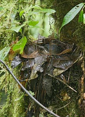 montane woodcreeper lepidocolaptes lacrymiger photo image