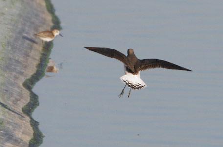 Green sandpiper flight - photo#21
